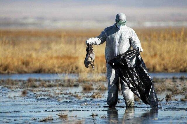 جمع آوری حدود 2000 لاشه پرنده مهاجر در مازندران